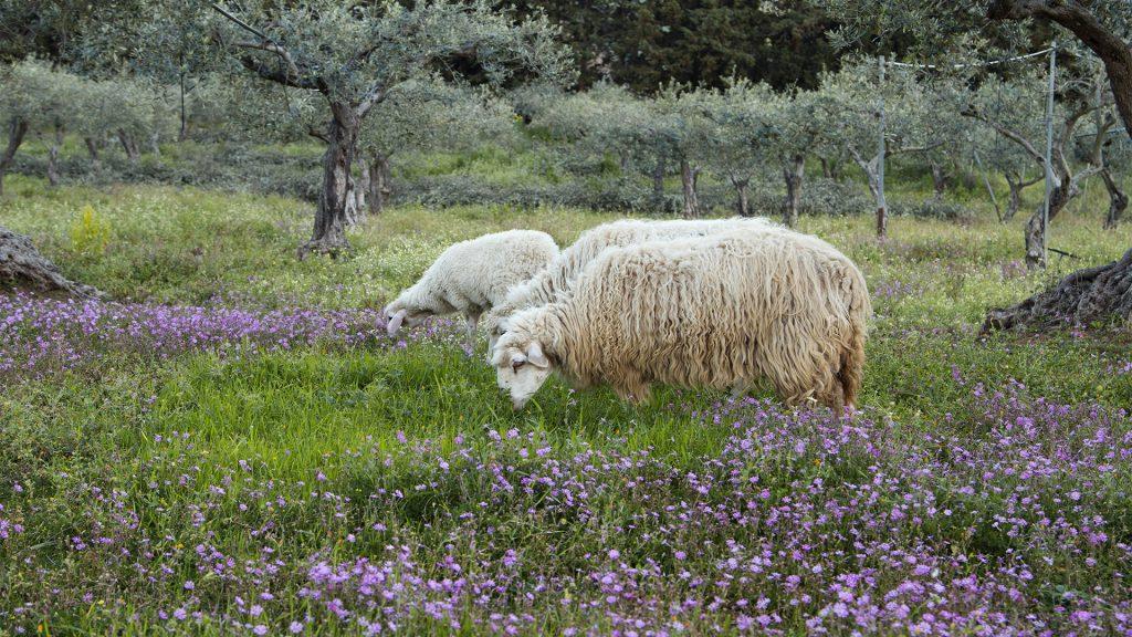 fattoria-lombardo-pecore