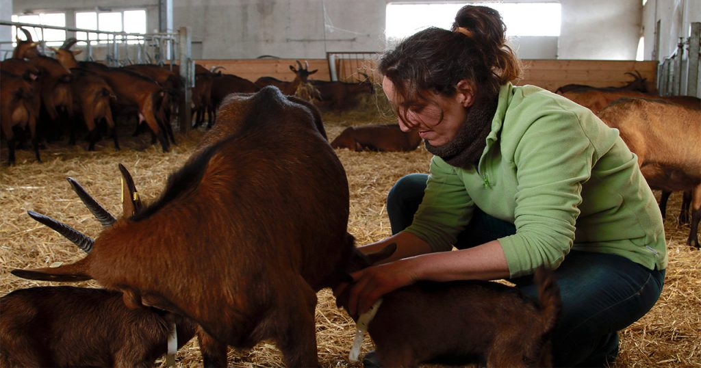 la-capra-allattamento