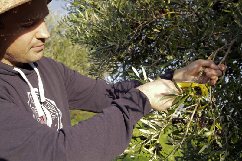 la-raccolta-delle-olive-in-sicilia