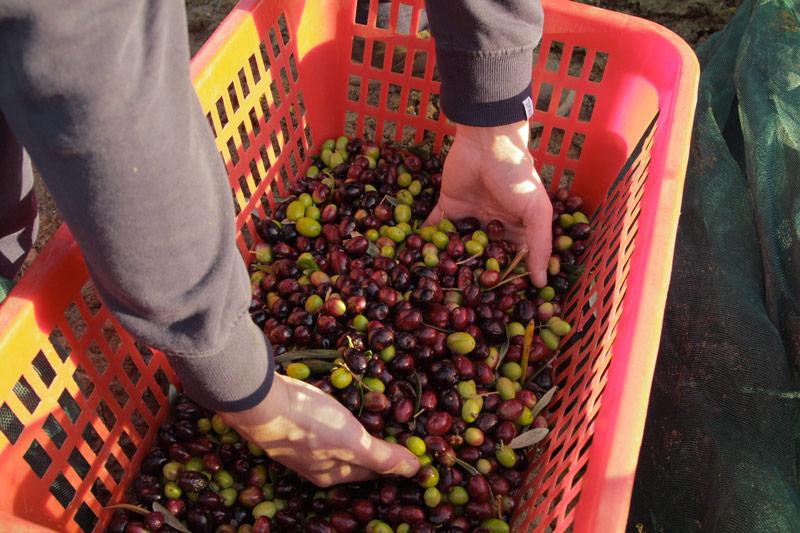 la-raccolta-delle-olive-in-sicilia_mani-e-olive