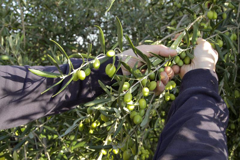 la-raccolta-delle-olive-in-sicilia_part-mani