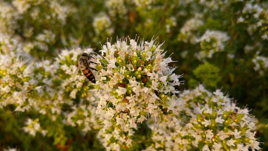 un'ape sul fiore di origano