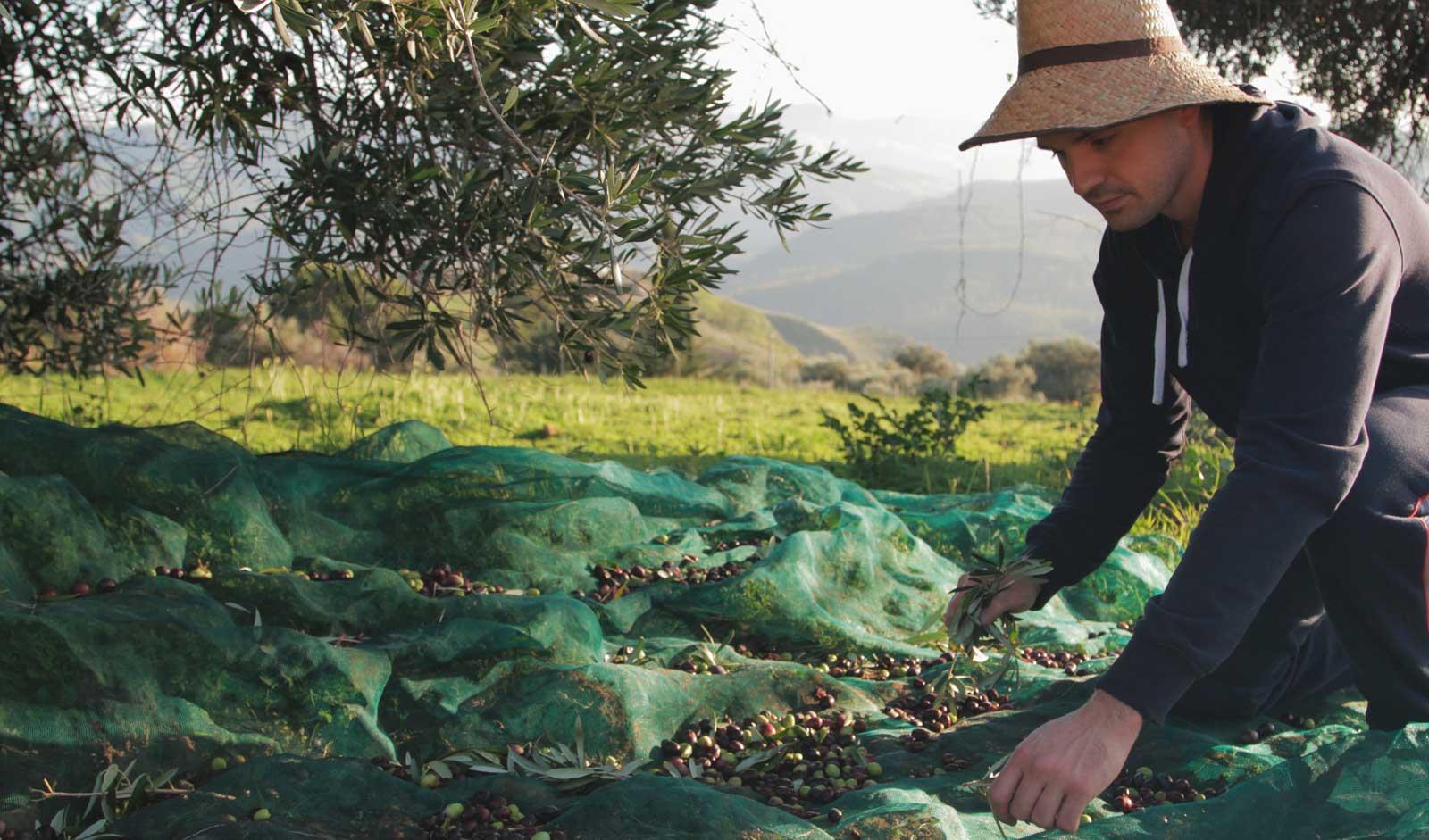 Una vera esperienza rurale: la raccolta delle olive.